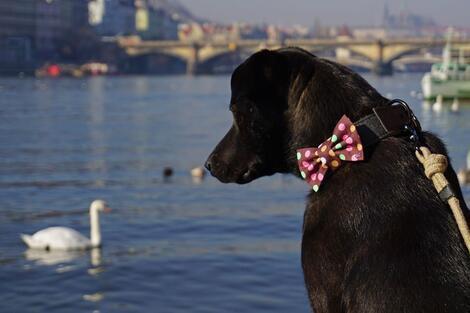 Elegantní psí motýlek hnědý károvaný - 3