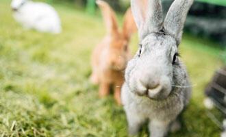 Dělení králíků