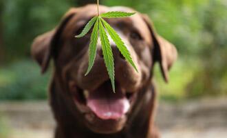 Význam konopných produktů pro psa